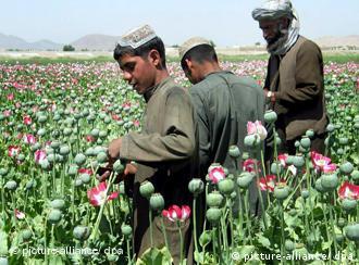 Poppy growers in their fields in Afghanistan
