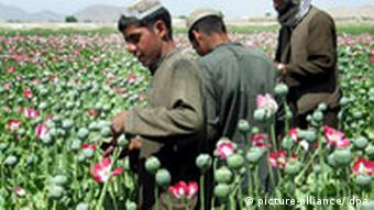 Afghan men in opium field