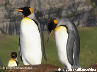 Majestuosos pingüinos reales, parte de una colonia de 100.000 parejas en Georgia del Sur.