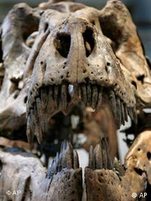 This is the skull of a Tyrannosaurus rex