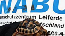Eine maurische Landschildkröte wird am Donnerstag (07.02.2008) im Nabu-Artenschutzzentrum in Leiferde bei Gifhorn präsentiert. Die rund sechs Monate alte, unter Artenschutz stehende Schildkröte war von Eheleuten abgegeben worden. Sie hatten das Tier nach einem Urlaub in Nordafrika nach der Rückkehr in Deutschland in einem Reisekoffer entdeckt. Das Nabu-Artenschutzzentrum blickt während einer Pressekonferenz am Freitag (08.02.2008) auf das Jahr 2007 zurück und gibt einen Ausblick auf das Jahr 2008 mit einem neuen Veranstaltungsprogramm. Foto: Holger Hollemann dpa/lni +++(c) dpa - Report+++