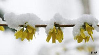 Bdt Schneebedeckt ein Forsythien-Strauch