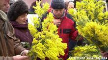 Internationaler Frauentag , Russland Mimosen zum Frauentag