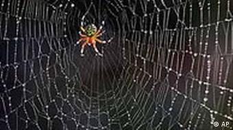 Spinne wandert über ihr Netz. (Foto: ap)