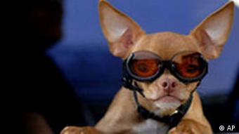 A chihuahua wearing sunglasses