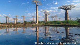 Baobab- oder Affenbrotbäume (Foto: dpa)