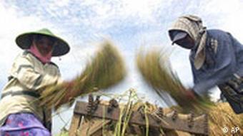 Lebensmittel Krise Reisbauern in Indonesien
