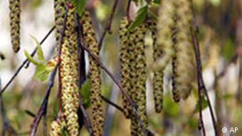 Birkenkätzchen hängen an einer Birke