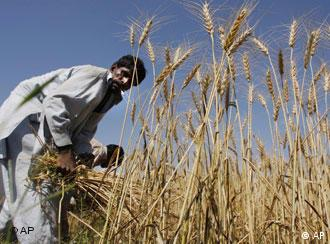 A villager harvests wheat on the outskirt of Islamabad, Pakistan