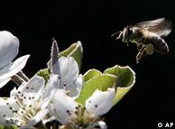 Bee hovering  over a white flower