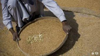 A Pakistani laborer sieves wheat at harvest time