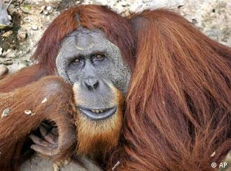 اورانگوتانهای خوش اخلاق بیشتر عمر میکنند