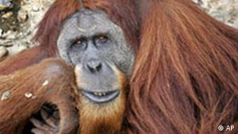 Orangutans, who live in the rainforest, are one of the world's most endangered species