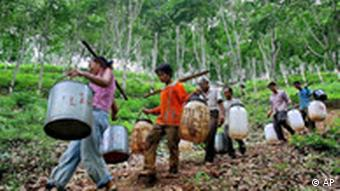 Workers carrying barrels to hold rubber latex walk through a rubber plantation