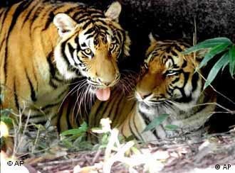 Two tigers in a Chinese preservation area