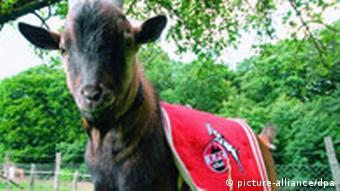 Maskota FC Kölna je jarac Hennes VIII.