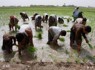 پاکستان: کم پانی سے چاول کاشت کرنے کا نیا طریقہ