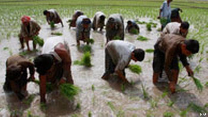 Pakistan Landwirtschaft Reisanbau
