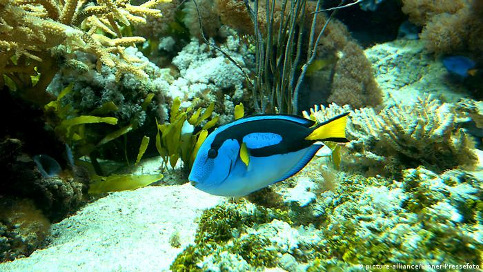 Blue tang (Paraacanthurus hepatus) in an aquarium (Photo: picture-alliance/Eibner-Pressefoto)