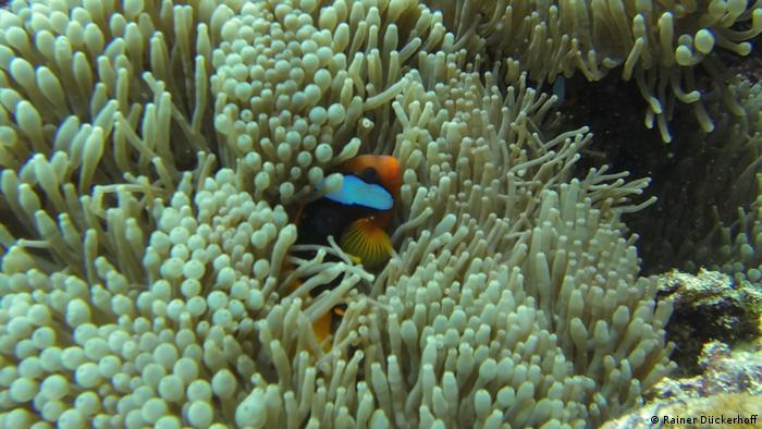 Clownfish nested into sea anemones (Photo: Rainer Dückerhoff)