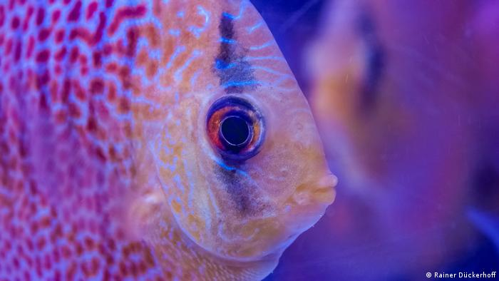 Closeup of discus fish (Photo: Rainer Dückerhoff)