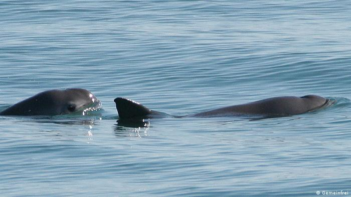 Two vaquitas surface in the Gulf of California
