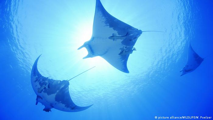 Devil rays swimming in the ocean, as seen from below (Photo: picture alliance/WILDLIFE/W. Poelzer)