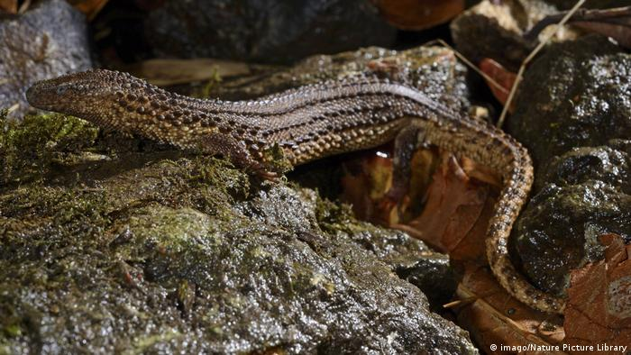 Captive earless monitor lizard (Photo: imago/Nature Picture Library)