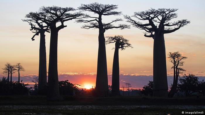 Baobab trees in Madagascar at sunset. (imago/alimdi)