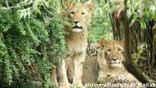 The lions Motshegetsi and Majo.