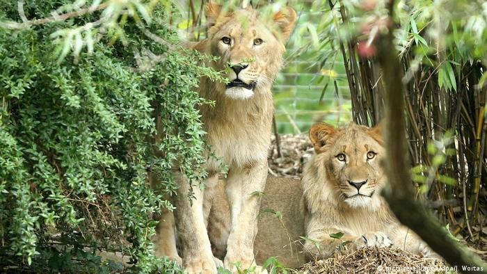 Lions at Leipzig Zoo (picture-alliance/dpa/J. Woitas)
