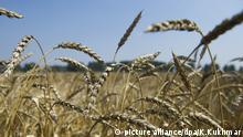 Russland Weizenfeld Weizen Agrarwirtschaft