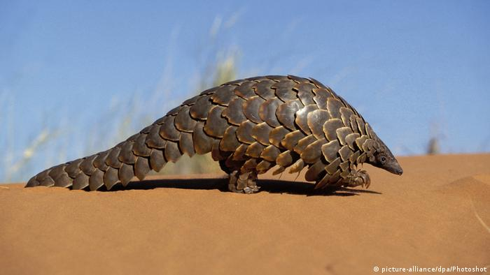 Schuppentiere Pangolin (picture-alliance/dpa/Photoshot)