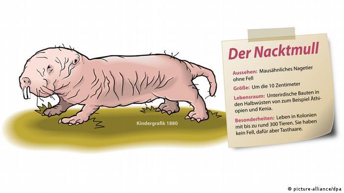Nacktmull Illustration (picture-alliance/dpa)