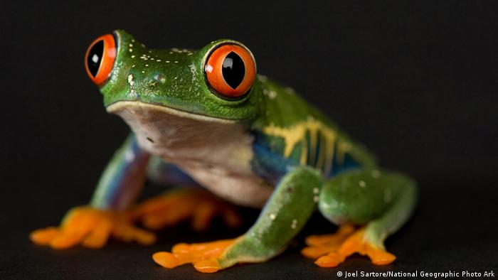 Frosch National Geographic Fotografie (Joel Sartore/National Geographic Photo Ark)