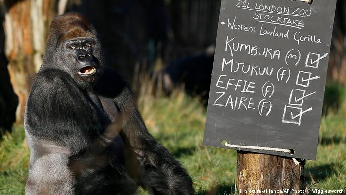 Großbritannien London - Gorilla bricht aus Zoo aus (picture-alliance/AP Photo/K. Wigglesworth)
