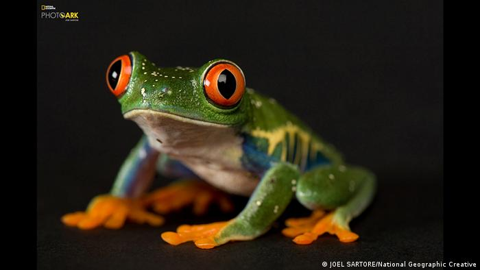 A red-eyed tree frog (Agalychnis calidryas) National Geographic (JOEL SARTORE/National Geographic Creative)