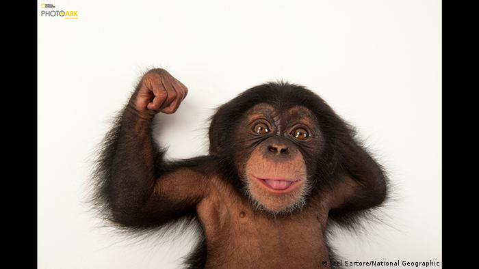 A three-month-old baby chimpanzee (Joel Sartore/National Geographic Photo Ark )