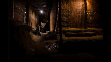 Wildlife Photographer of the Year Award - The alley cat (Picture: Nayan Khanolkar)