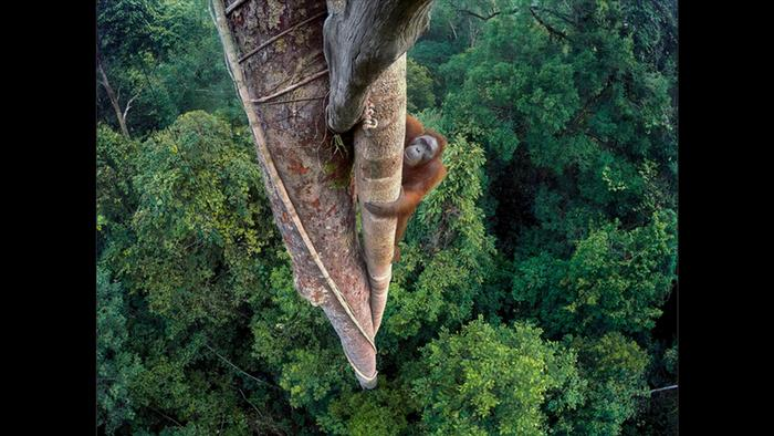 Wildlife Photographer of the Year Award - Entwined lives (Picture: Tim Laman)