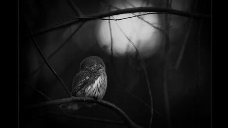 Wildlife Photographer of the Year Award - Requiem for an owl (Picture: Mats Andersson)