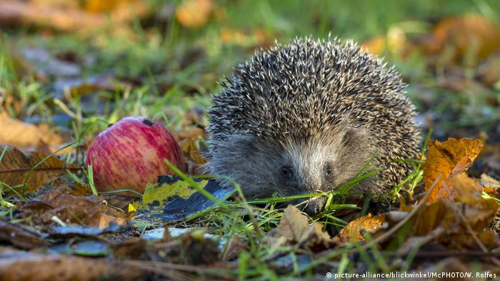 A hedgehog next to an apple in grass (picture-alliance/blickwinkel/McPHOTO/W. Rolfes)