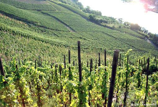 Vines growing on steep slopes above the Moselle River