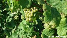 Wein an der Mosel Riesling Trauben
