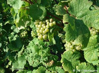Riesling grapes growing on the slopes of the Moselle Valley