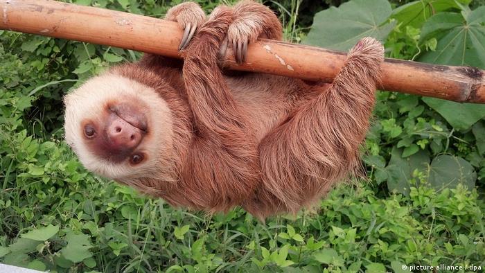 حيوان الكسلان .. إسم على مُسمى! | جميع المحتويات | DW | 30.10.2016
