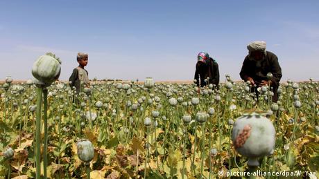 Afghanistan Opiumanbau (picture-alliance/dpa/W. Yar)