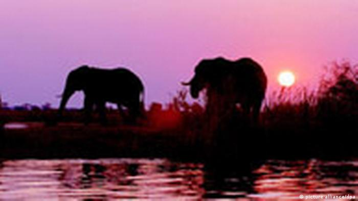 Two elephants in Botswana's Chobe National Park (picture alliance/dpa)