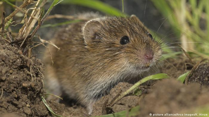 Deutschland Feldmaus Microtus arvalis (picture alliance/Arco Images/K. Hinze)
