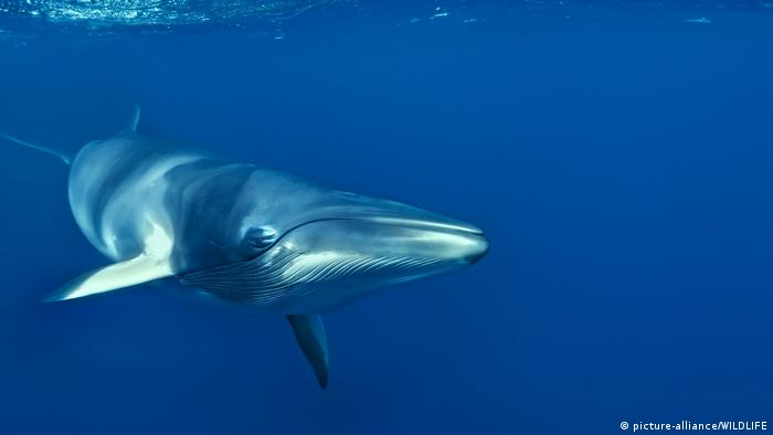 Minke whale (picture-alliance/WILDLIFE)